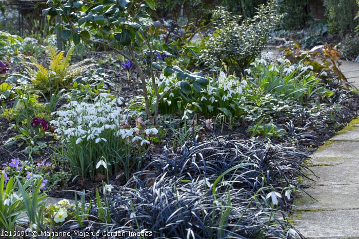 Path alongside early spring border, galanthus, Ophiopogon planiscapus 'Nigrescens'