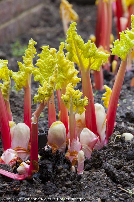 Rheum x hybridum 'Victoria', forced rhubarb