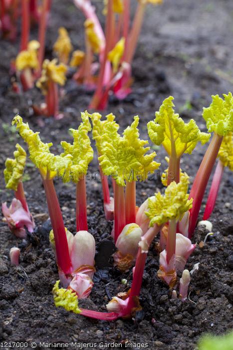 New shoots of Rheum x hybridum 'Victoria', forced rhubarb