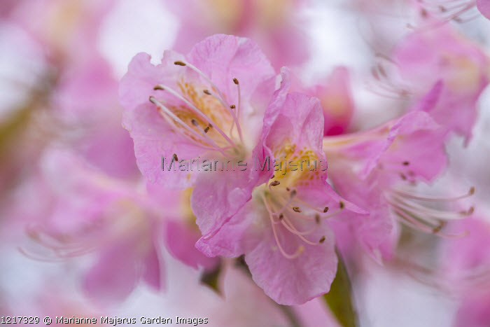 Rhododendron 'Airy Fairy'