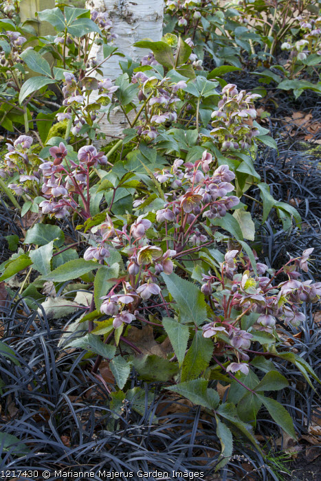 Helleborus x sternii Blackthorn Group, Ophiopogon planiscapus 'Nigrescens'
