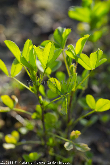 Alfalfa, green manure
