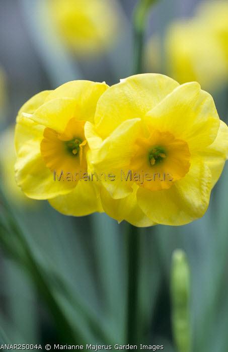 Narcissus 'Sun Disc'