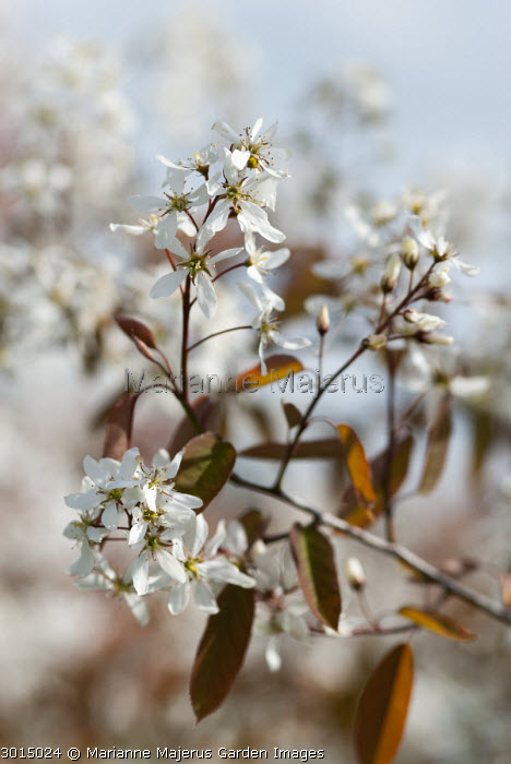 Amelanchier canadensis 'Tailored'
