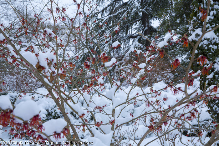 Hamamelis x intermedia 'Diane' in snow