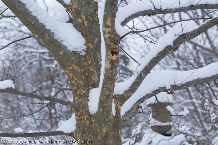 Ulmus parvifolia in snow, mottled bark