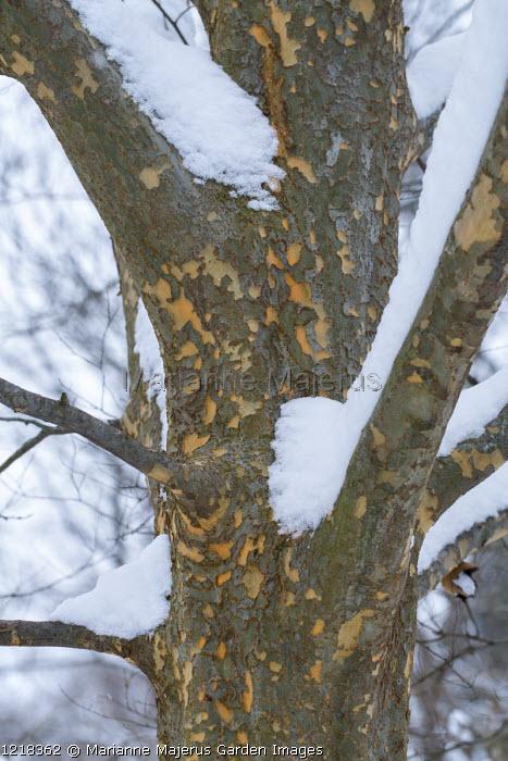 Ulmus parvifolia, mottled bark