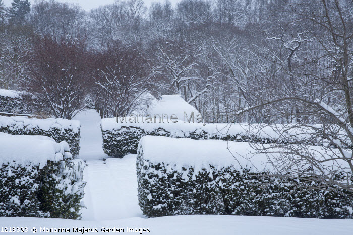 Snow-covered hedges
