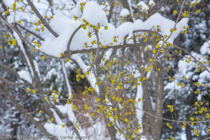 Cornus mas in snow