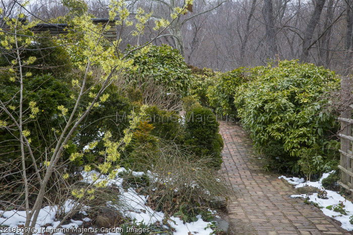 Hamamelis x intermedia 'Angelly', brick path