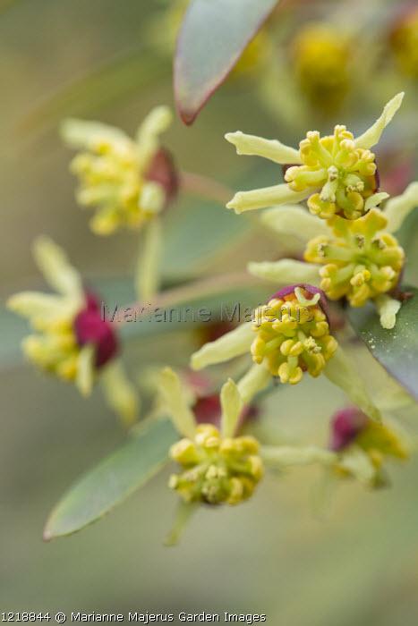 Drimys lanceolata, syn. Drimys aromatica, Tasmannia lanceolata