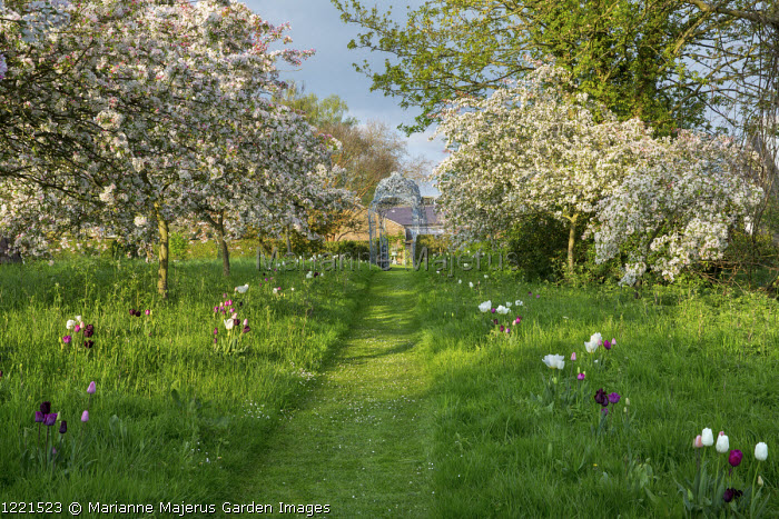 Malus floribunda underplanted with Tulipa 'Peerless Pink', 'Negrita' and 'Snowstar', mown grass path through lawn, view to metal arbour by Ben Coode-Adams
