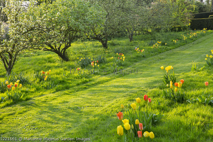 Mown path through lawn lined with tulips including Tulipa 'Candela', 'Euromast', 'Orange Emperor', 'Cherida', 'Makassar', 'Garant', 'Golden Apeldoorn' and 'City of Vancouver'
