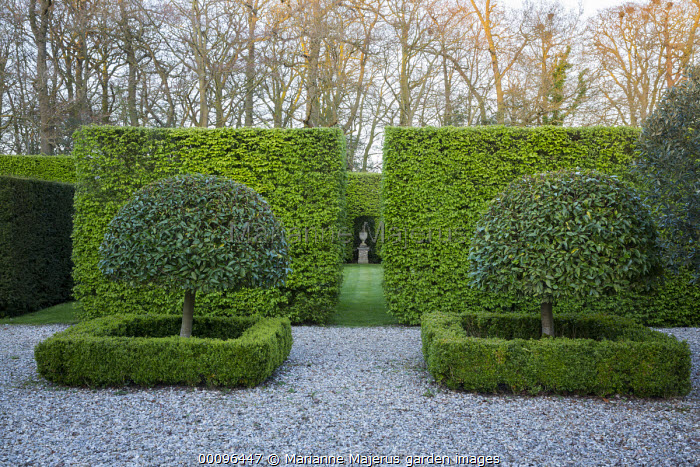 Phillyrea latifolia trained as standard trees in front of hornbeam hedge, view to urn in niche