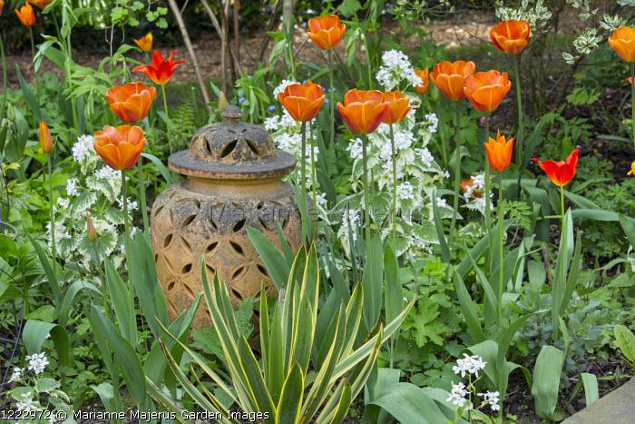 Tulipa 'Brown Sugar', terracotta urn, Lunaria annua var. albiflora 'Alba Variegata'