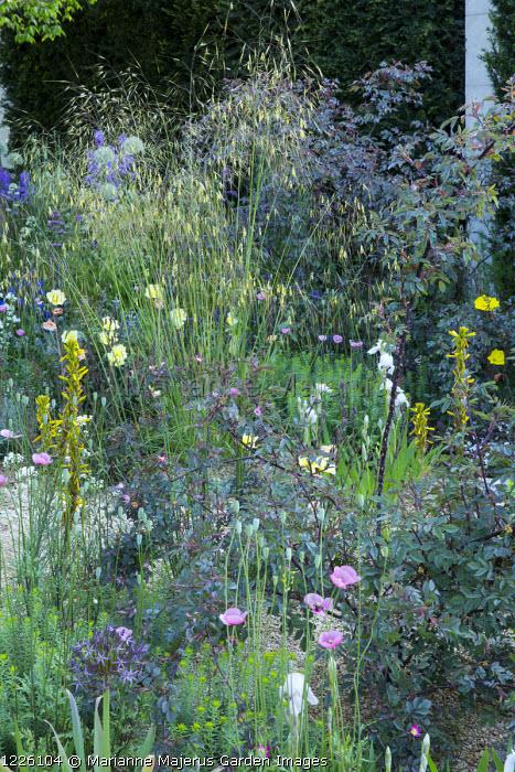 Gravel garden, Stipa gigantea, Rosa glauca, Asphodeline lutea, Iris 'Florentina', Oenothera odorata 'Sulphurea', Papaver dubium subsp. lecoqii var. albiflorum