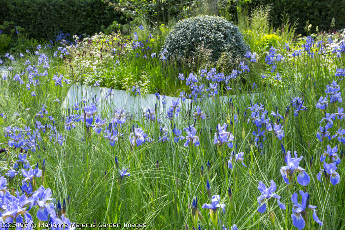 Drift of Iris sibirica 'Perry's Blue', clipped ball of Osmanthus heterophyllus
