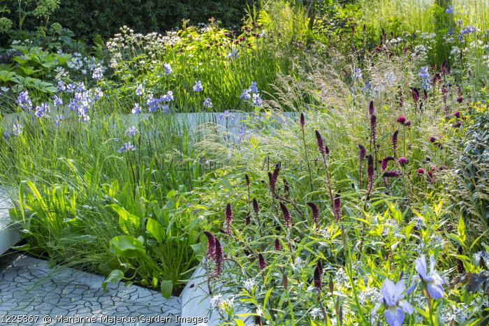 Lysimachia atropurpurea 'Beaujolais', Iris sibirica 'Perry's Blue'