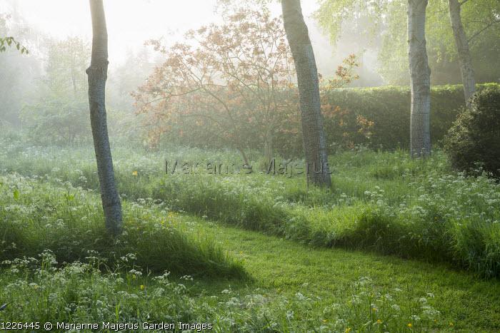 Mown path through wildflower meadow in birch woodland