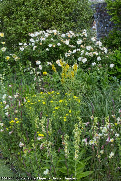 Oenothera, roses, verbascum