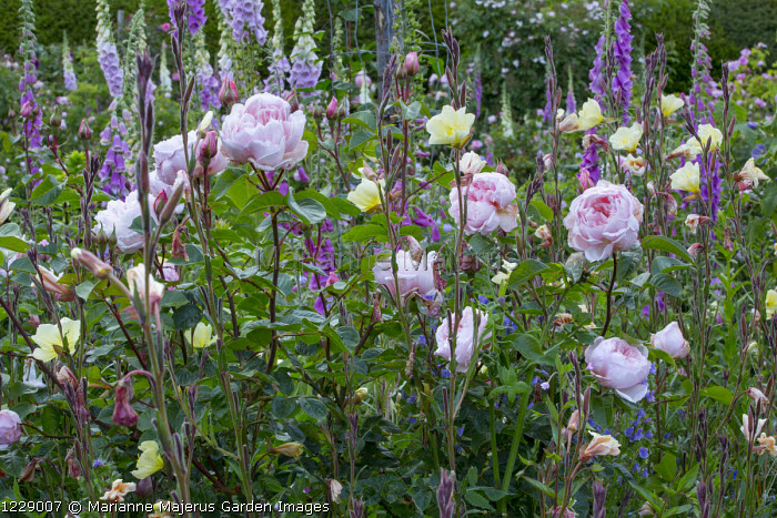 Oenothera, roses, foxgloves