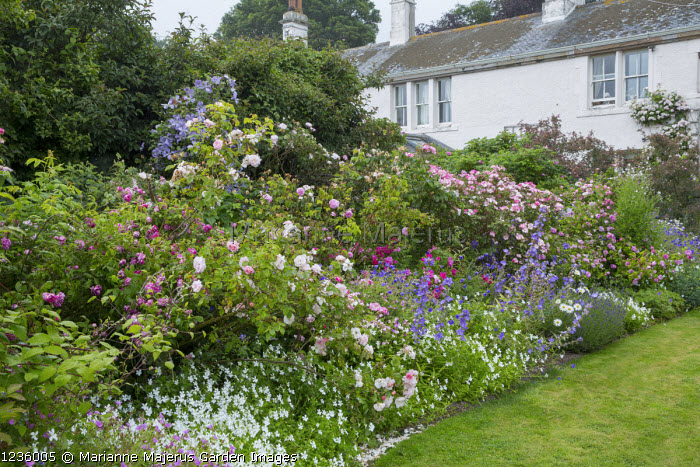 Roses underplanted with Viola cornuta 'Alba', geraniums, lavender, Clematis 'Prince Charles', Rosa gallica var. officinalis, Rosa 'Celsiana', 'Fantin-Latour' and 'Constance Spry', Rosa mundi and Rosa gallica 'Versicolor'