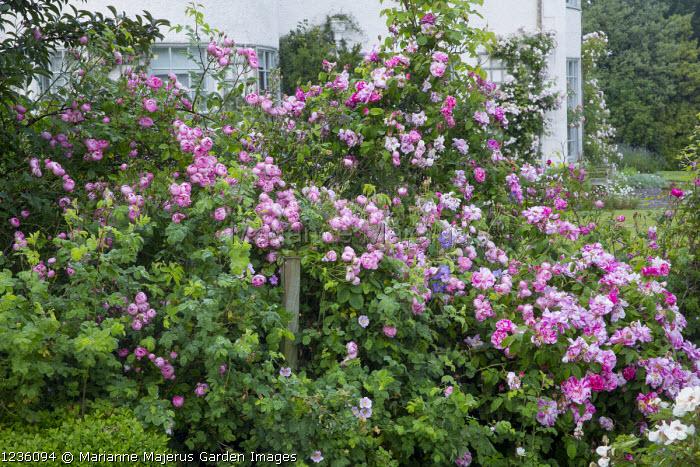 Rose garden, Rosa 'Raubritter', Rosa gallica 'Versicolor'