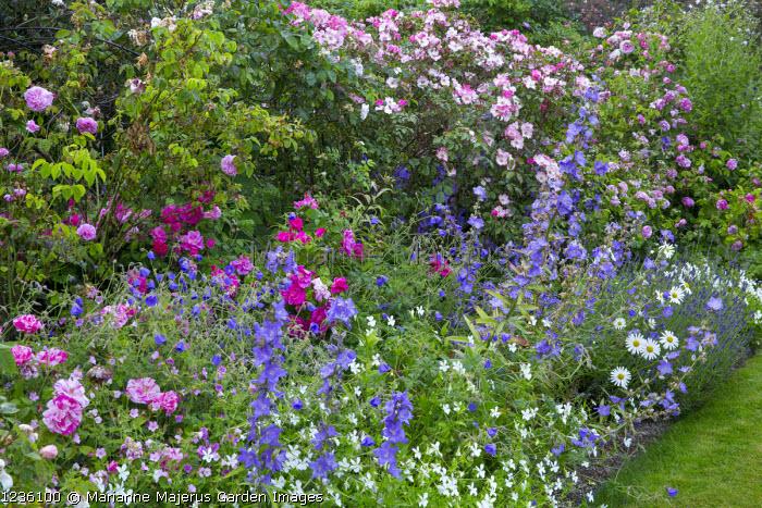 Cottage garden border, campanula, Viola cornuta 'Alba', Rosa gallica var. officinalis, Rosa 'Celsiana', 'Fantin-Latour' and 'Constance Spry', Rosa mundi and Rosa gallica 'Versicolor'