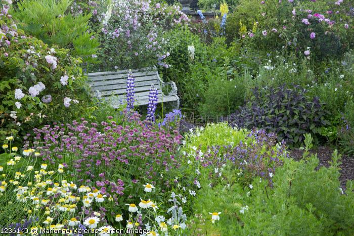 Wooden bench, lupins, astrantia, Anthemis tinctoria 'Sauce Hollandaise', viola, nepeta, Lavatera x clementii 'Barnsley'