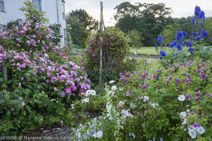 Rosa 'Raubritter', Rosa gallica 'Versicolor', geraniums and delphiniums