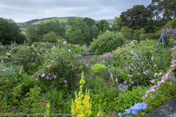 View across rose garden towards landscape, bench, verbascum, Rosa 'Blush Rambler', Rosa virginiana, Lavatera x clementii 'Barnsley'