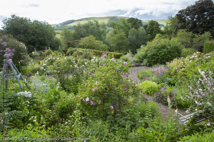 View across rose garden towards landscape, bench, thalictrum, chairs, Rosa 'Blush Rambler', Rosa virginiana, Lavatera x clementii 'Barnsley'