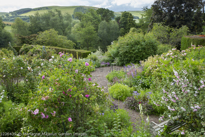 View across rose garden towards landscape, bench, Rosa 'Blush Rambler', Rosa virginiana, Lavatera x clementii 'Barnsley'