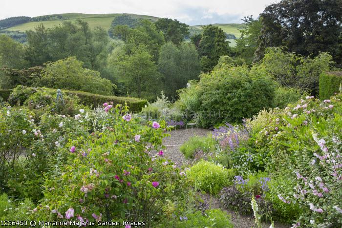 Hillside garden, view across rose garden towards landscape, chairs, Rosa 'Blush Rambler', Rosa virginiana, Lavatera x clementii 'Barnsley'