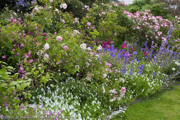 Colourful cottage garden border, roses, Viola cornuta 'Alba', Rosa gallica var. officinalis, Rosa 'Celsiana', 'Fantin-Latour' and 'Constance Spry', Rosa mundi and Rosa gallica 'Versicolor'