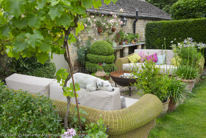 Outdoor sofas with cushions around brazier on patio, agapanthus and standard grape vine, Vitis 'Triomphe d'Alsace' in terracotta pots,  Rosa 'Phyllis Bide', sleeping dog