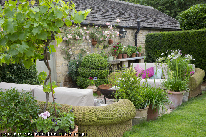 Outdoor sofas with cushions around brazier on patio, agapanthus and standard grape vine, Vitis 'Triomphe d'Alsace', in terracotta pots, Rosa 'Phyllis Bide'