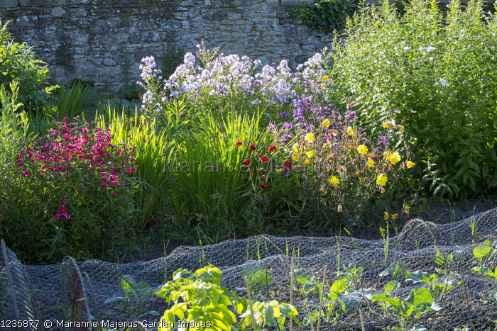 Wire mesh plant protection in kitchen and cutting garden, penstemon, oenethera, campanula, geum