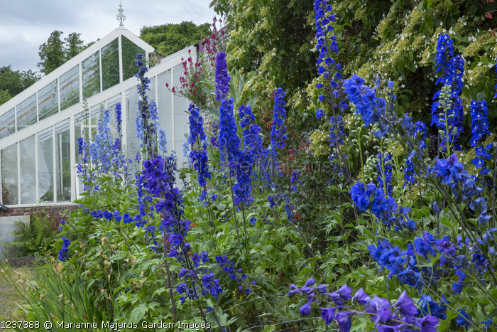 Delphiniums in border by greenhouse