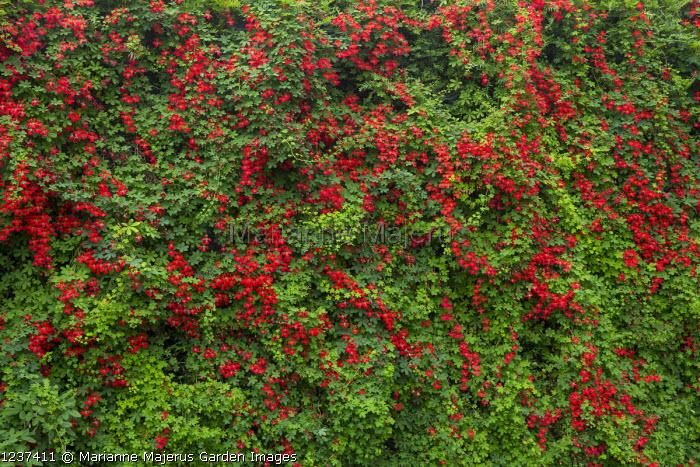 Tropaeolum speciosum climbing over yew hedge