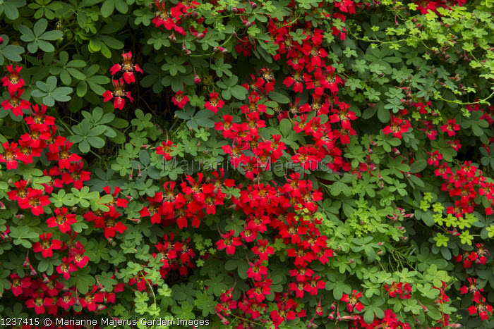 Tropaeolum speciosum climbing on yew hedge
