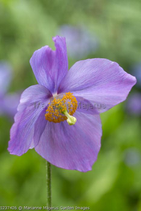 Meconopsis (George Sherriff Group) 'Dalemain'