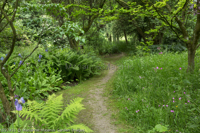 Shady path, Meconopsis (George Sherriff Group) 'Dalemain', Silene dioica,