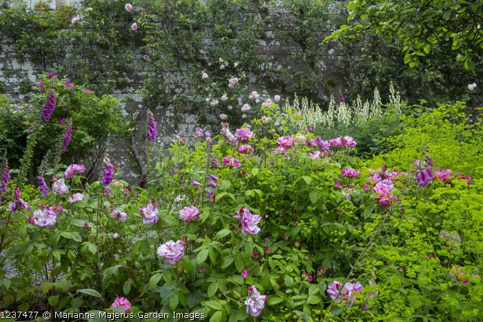 Rosa mundi, Digitalis purpurea