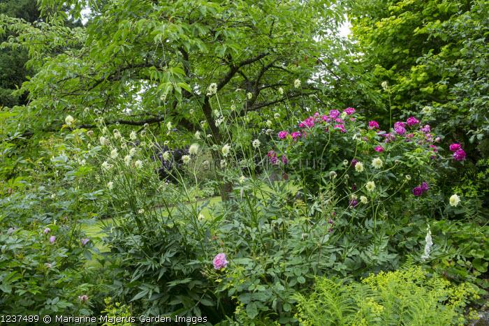 Cephalaria gigantea, Rosa mundi
