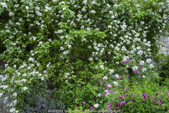 Lathyrus grandiflorus, roses