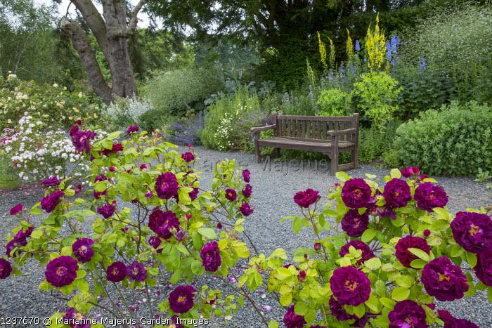 Rosa 'Tuscany Superb', wooden bench gravel terrace