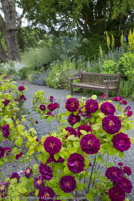Rosa 'Tuscany Superb', wooden bench on gravel terrace