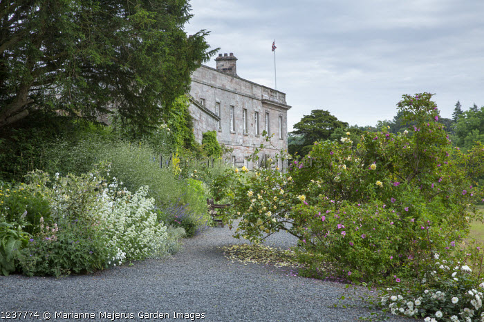 Roses in border in front of house, Rosa 'Easlea's Golden Rambler'