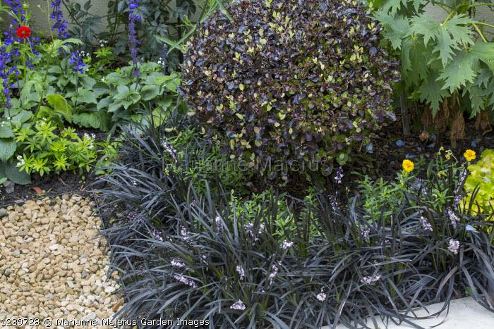 Pittosporum tenuifolium 'Tom Thumb', Ophiopogon planiscapus 'Nigrescens'